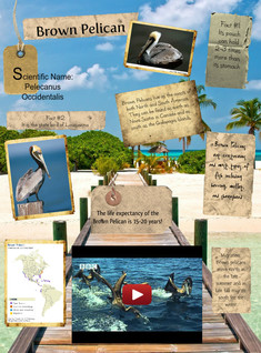 Migratory Animals: Brown Pelican