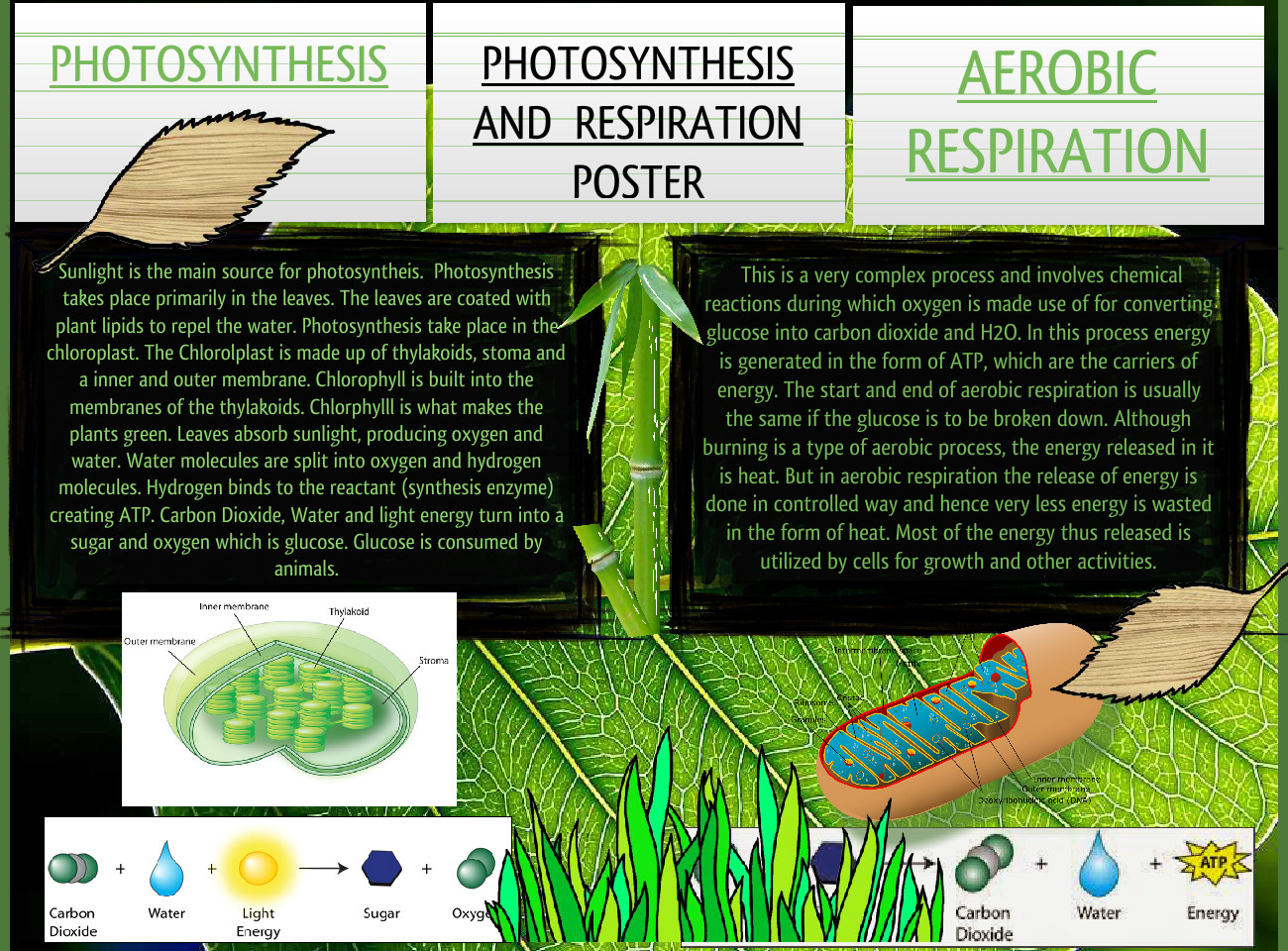 Photosynthesis and Respiration Poster