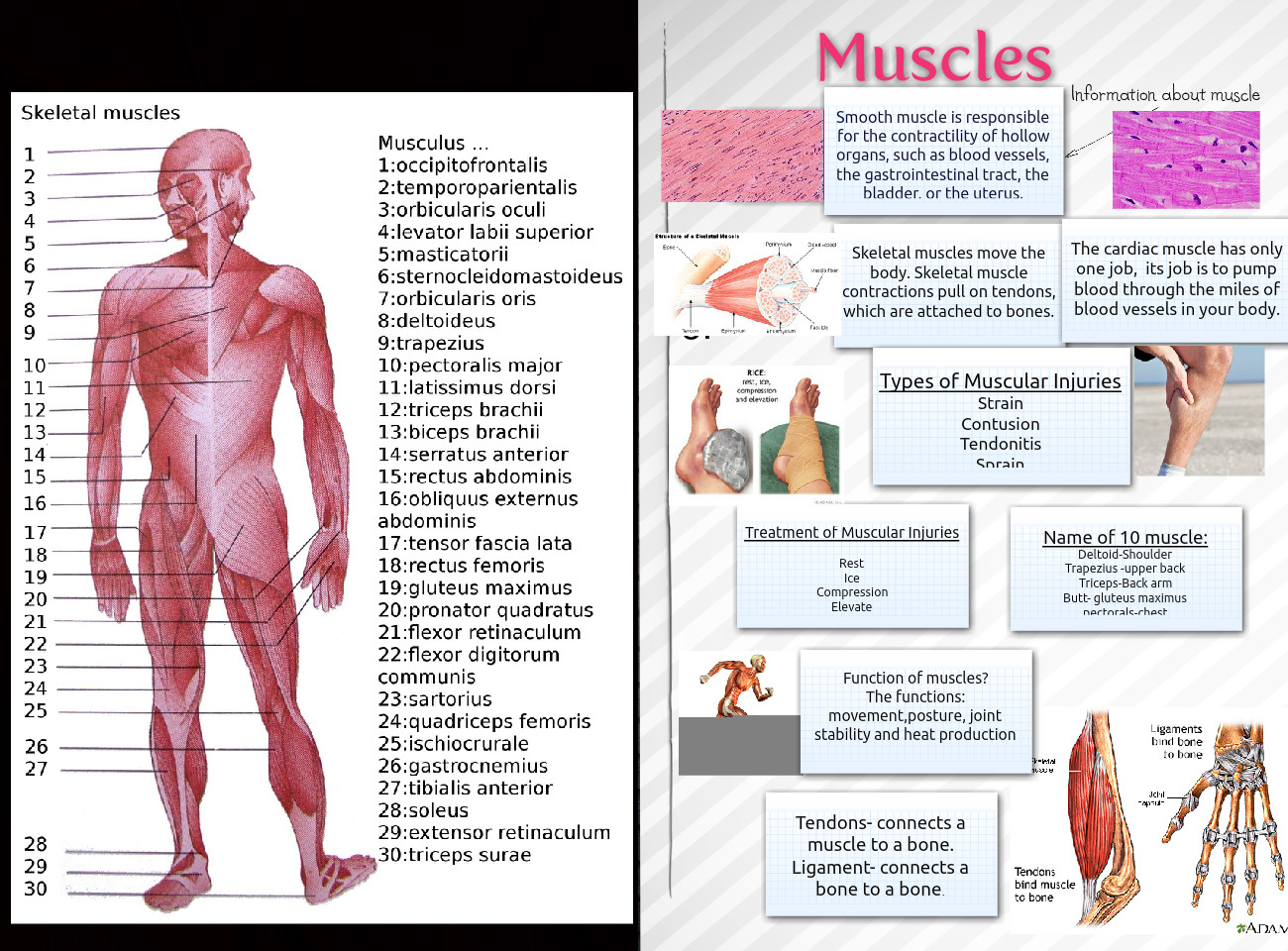 Muscles Anatomy Body En Human Injuries Ligaments Muscles